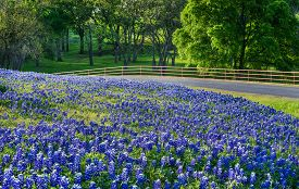 pic of bluebonnets  - Texas bluebonnet field along country road in early morning light - JPG