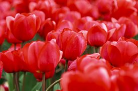 pic of glorious  - Glorious array of red tulips close - JPG