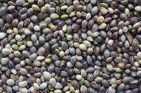 image of seed bearing  - Close view of a hemp seeds background - JPG