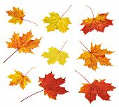stock photo of canada maple leaf  - Set of colorful autumn red - JPG