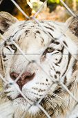 stock photo of white-tiger  - Portrait of locked white tiger in the zoo  - JPG