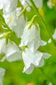 pic of harebell  - closeup white hand bell flower with rain drops on a green blur background closeup - JPG