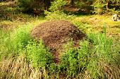 stock photo of ant  - Large anthill of forest ants in the spring forest - JPG