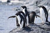 Adelei Penguins