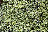 image of lichenes  - Yellow map lichen on a grey granitic rock - JPG