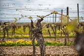 picture of vines  - First spring leaves on a trellised vine growing in a vineyard on a winery with rows of vines visible in the background - JPG