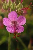 picture of geranium  - geraniums blooming in the garden in summer closeup - JPG