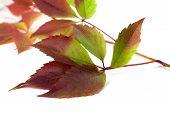foto of grape leaf  - Multicolor autumn grapes leaves  - JPG