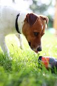 picture of jack russell terrier  - Dog on vacation - JPG