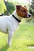 picture of jack russell terrier  - The dog breed Jack Russell terrier on the green grass on a sunny day - JPG