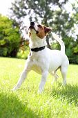 pic of jack russell terrier  - The dog breed Jack Russell terrier on the green grass on a sunny day - JPG