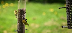 picture of goldfinches  - A group of American Goldfinches in various stages of life pay visits to the yard in spring time - JPG
