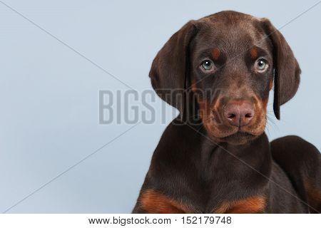Beautiful brown Doberman