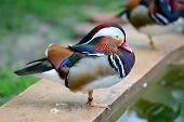 One Leg Mandarin Duck