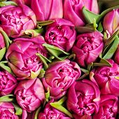 beautiful pink double tulips, background,
