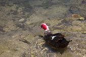 Muscovy Duck Swimming