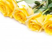 stock photo of yellow rose  - yellow roses isolated on white - JPG