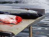 foto of beheaded  - Freshly caught salmon being cleaned - JPG