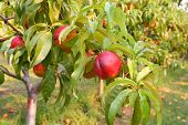 Nectarines on the tree