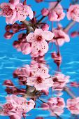 pic of cherry-blossom  - Cherry blossom reflection in water - JPG