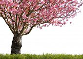 foto of cherry trees  - Gorgeous early spring blooming cherry trees in pink - JPG