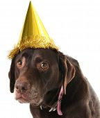 Old labrador retriever wearing a birthday hat.