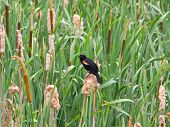 picture of bull rushes  - shot of a red winged black bird perched among bulrushes - JPG
