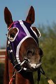 pic of blinders  - Close up of a horse head with colorful blinders.