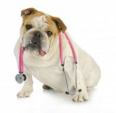 veterinary care - english bulldog with stethoscope around neck looking at viewer poster
