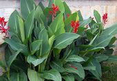 Canna(plant) ,ornamental Plant. A Flower Plant That Originates From Tropical And Subtropical Regions poster