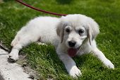 Golden Retriever Puppy Lying On Green Grass On A Leash, Sticking Out Tongue poster
