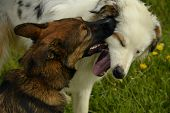 Dogs Play With Each Other. Young Australian Shepherd Dog. Aussie. Merry Fuss Puppies. Aggressive Dog poster