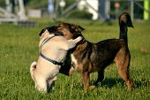 Dogs Play With Each Other. Young Pug-dog. Merry Fuss Puppies. Aggressive Dog. Training Of Dogs.  Pup poster