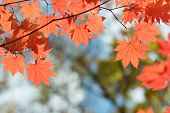Red Maple Leaves Border At Autumn Forest, Blurred Background. Season Changing. A Tree Branch Of Mapl poster