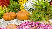 Fresh Orange Pumpkins And Chrysanthemums In Autumn Garden. Fall Garden, Park With Decorative Pumpkin poster