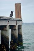 A Grey Cormorant Is Sitting On A Wooden Pier. The Lower Part Of The Pier Is Covered In Moss And Barn poster