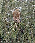 Pine Tree Hawk
