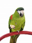 foto of polly  - Miniature Noble Macaw on an isolated white background eating a cracker - JPG