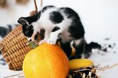 Cute Kitty Standing On Pumpkin And Smelling It At Cozy Wicker Basket And Zucchini In Light On Wooden poster