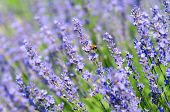 Lavenders And Bumblebee