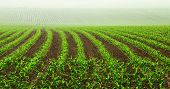 image of humus  - Rows of young corn plants on a moist field in a misty morning - JPG
