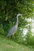 Grey Heron Standing In The River Bank In The Grass