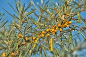 Branch Of Sea Buckthorn