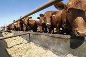 foto of feedlot  - feeding bunks on a farm in saskatchewan - JPG