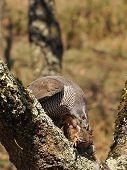 stock photo of goshawk  - Goshawk hunting a partridge in a forest - JPG