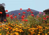 Napa California Country Scenery With Poppies