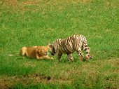 picture of white tiger cub  - Lion cub playfighting with white tiger cub - JPG