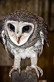 Masked Owl , Australian Wildlife