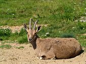 picture of nubian  - Nubian Ibex in the nature landscape - JPG