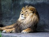 stock photo of zoo animals  - lion photographed at taronga zoo - JPG